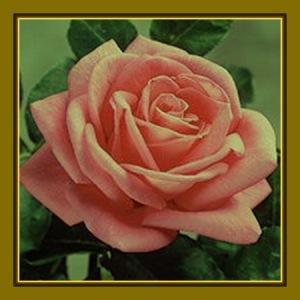 rosa 6